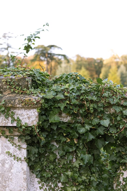 Ivy growing over wall at Ickworth House