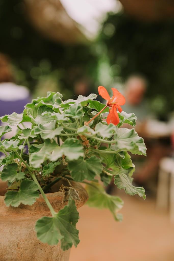 geranium in terracotta pot