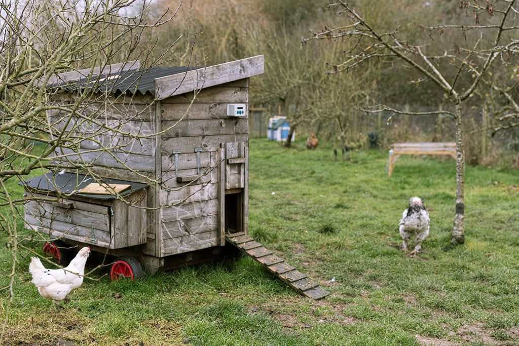 chicken shed with chickens