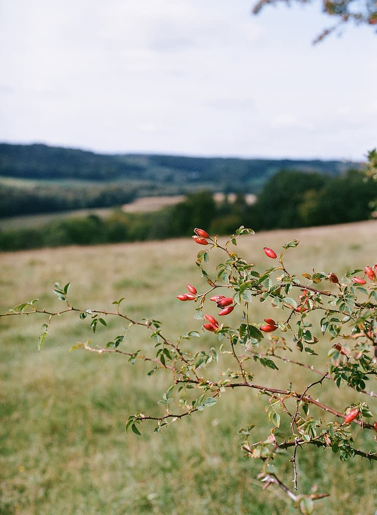 Rosehip in the Chilterns Hill view