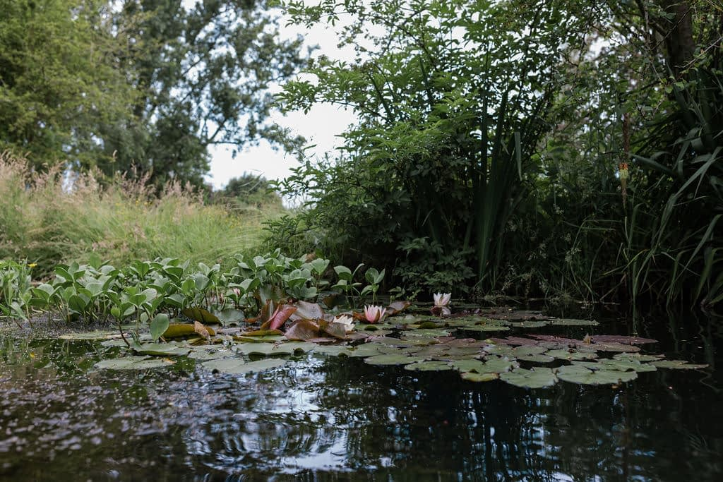 Water Lilies on natural pool in Cambridgeshire