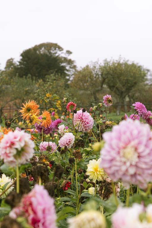 garden full o dahlias at Ickworth estate